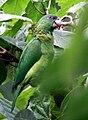 Amazona agilis -Portland -Jamaica-6a.jpg