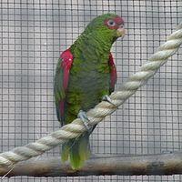 Amazona pretrei -Loro Parque-6a-4c