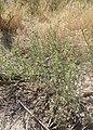 Ambrosia acanthicarpa kz17.jpg
