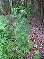 Ambrosia artemisiifolia plant6 (11741376993).jpg