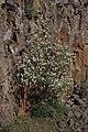 Amelanchier alnifolia 1789.JPG