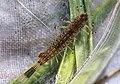 Ameletid mayfly, Ameletus sp. (lineatus?) (32834672370).jpg