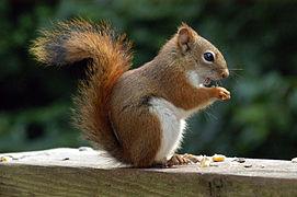 271px-AmericanRedSquirrel.jpg