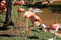 American Flamingo (Phoeniconais ruber ruber) (2854221603).jpg