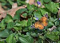 American Lady butterfly (34112685972).jpg