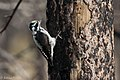 American Three-toed Woodpecker Signal Burn Gila NF NM 2017-10-18 09-02-53 (39043119112).jpg