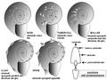 Ammonites decoration.PNG