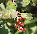 Amoras - Moras - Berries - Rubus - 01.jpg