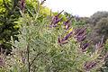 Amorpha nana - floraison-2.jpg