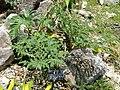 Amorphophallus rivieri - Kunming Botanical Garden - DSC03018.JPG