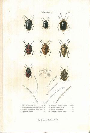 Suites à Buffon - Image: Amyot C.J.B.1843 Histoire naturelle des insectes. Hemipteres. Planche I