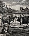 An ox and a steer face each other in a field watched on by a Wellcome V0022976.jpg