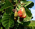 Anacardium occidentale (Anacardiaceae).jpg