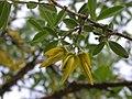 Anagyris foetida flowers 1.JPG