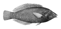 AnampsesCaeruleopunctatus