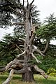 Ancient Cedar of Lebanon in Goodnestone Park Kent England.jpg