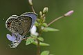 Andaman16 A plains cupid (7999692932).jpg
