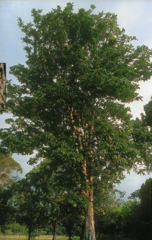 Carapa guianensis - Image: Andirobaamazonica