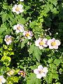 Anemone vitifolia - Botanischer Garten, Frankfurt am Main - DSC03299.JPG