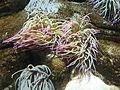 Anemonia sulcata 2 by Line1.jpg
