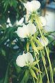 Angraecum-eburneum-longical.jpg