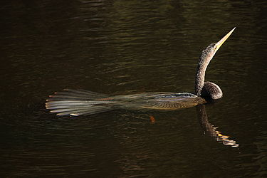 Anhinga swimming 2.jpg