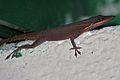 Anolis porcatus brown phase.jpg