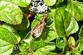 Ant damsel bug (BG) (13101552035).jpg