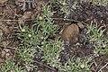 Antennaria dimorpha 7763.JPG