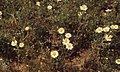 Anthemis tinctoria. Yellow feverfew. Mehdia (37724685502).jpg