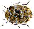Anthrenus verbasci (Linné, 1767) (27853635822).png