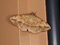 Anticarsia irrorata (40114957885).jpg