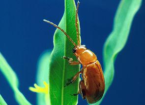 Aphthona flava