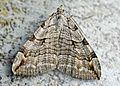 Aplocera plagiata (2006-05-17).jpg