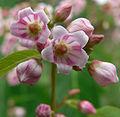Apocynum androsaemifolium var androsaemifolium 4.jpg