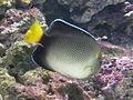 Apolemichthys xanthurus 2.JPG