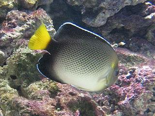 <i>Apolemichthys</i> Genus of fishes