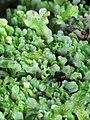 Apopellia endiviifolia 84402440.jpg