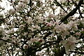 Apple-tree-blossoms - West Virginia - ForestWander.jpg