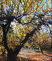Apple Orchard Fall, Oak Glen, CA 11-17-13za (11518386323).jpg