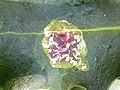 Aquifoliales - Ilex aquifolium - 8.jpg