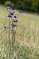 Aquilegia vulgaris chauvoncourt 55 17052008 1.jpg