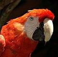 Ara macao -San Diego Zoo, USA-8a.jpg