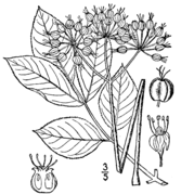Aralia nudicaulis BB-1913.png