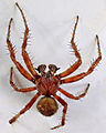 Araneus quadratus male, Trawscoed, North Wales, Aug 2015 2 (20132722634).jpg