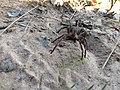 Aranha armadeira (Phoneutria sp).jpg