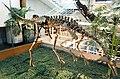 ArchaeornithomimusAsiaticus-PaleozoologicalMuseumOfChina-May23-08.jpg