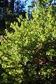 Arctostaphylos viridissima White Cloud kz3.jpg