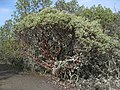 Arctostaphylos viscida - Flickr - brewbooks.jpg
