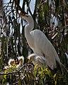 Ardea alba -chicks and nest -Morro Bay Heron Rookery -8c.jpg